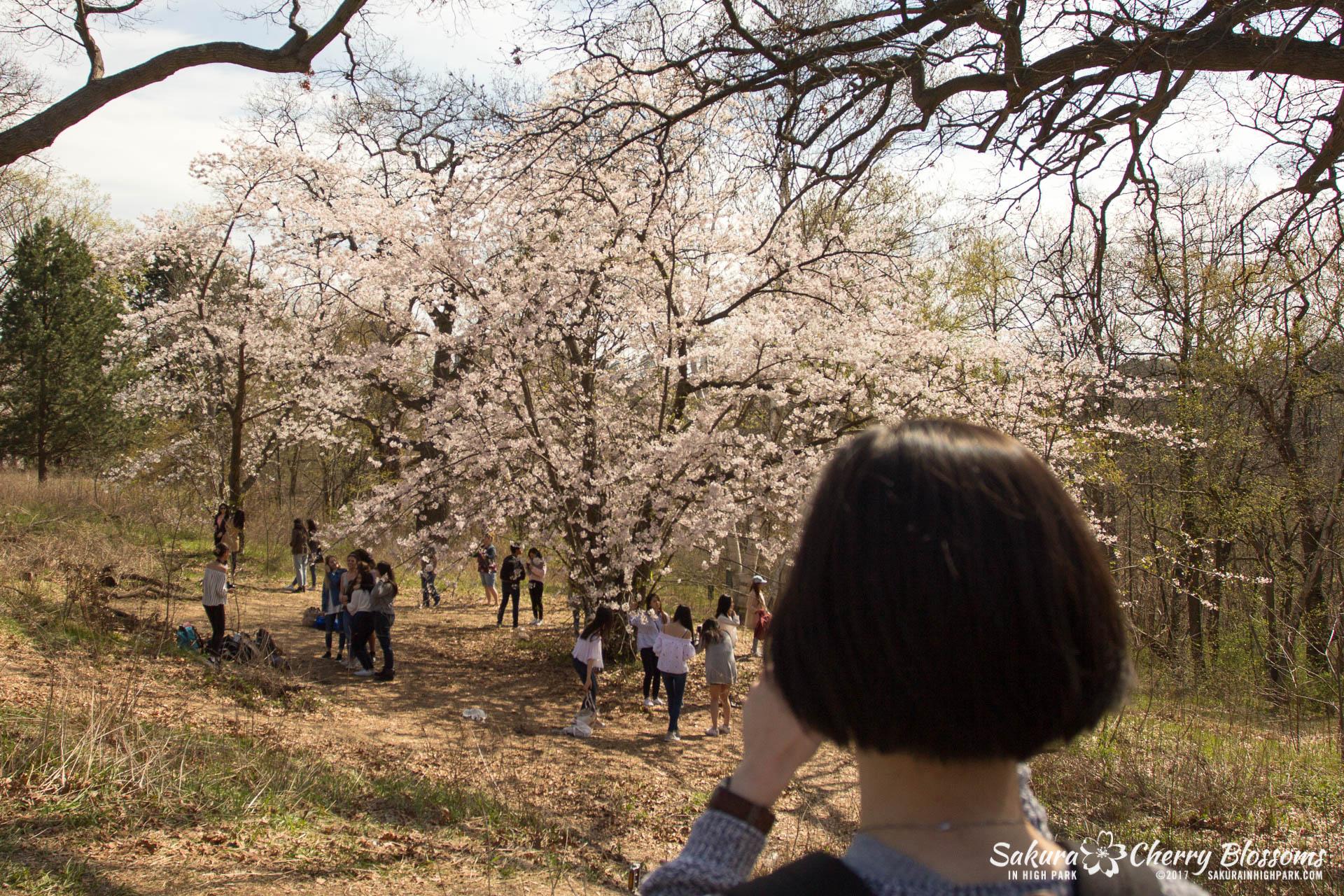 Sakura Watch April 28, 2017 - full bloom throughout High Park-5660