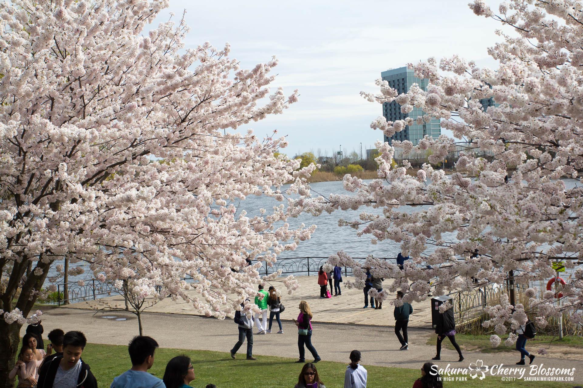 Sakura Watch April 28, 2017 - full bloom throughout High Park-5830