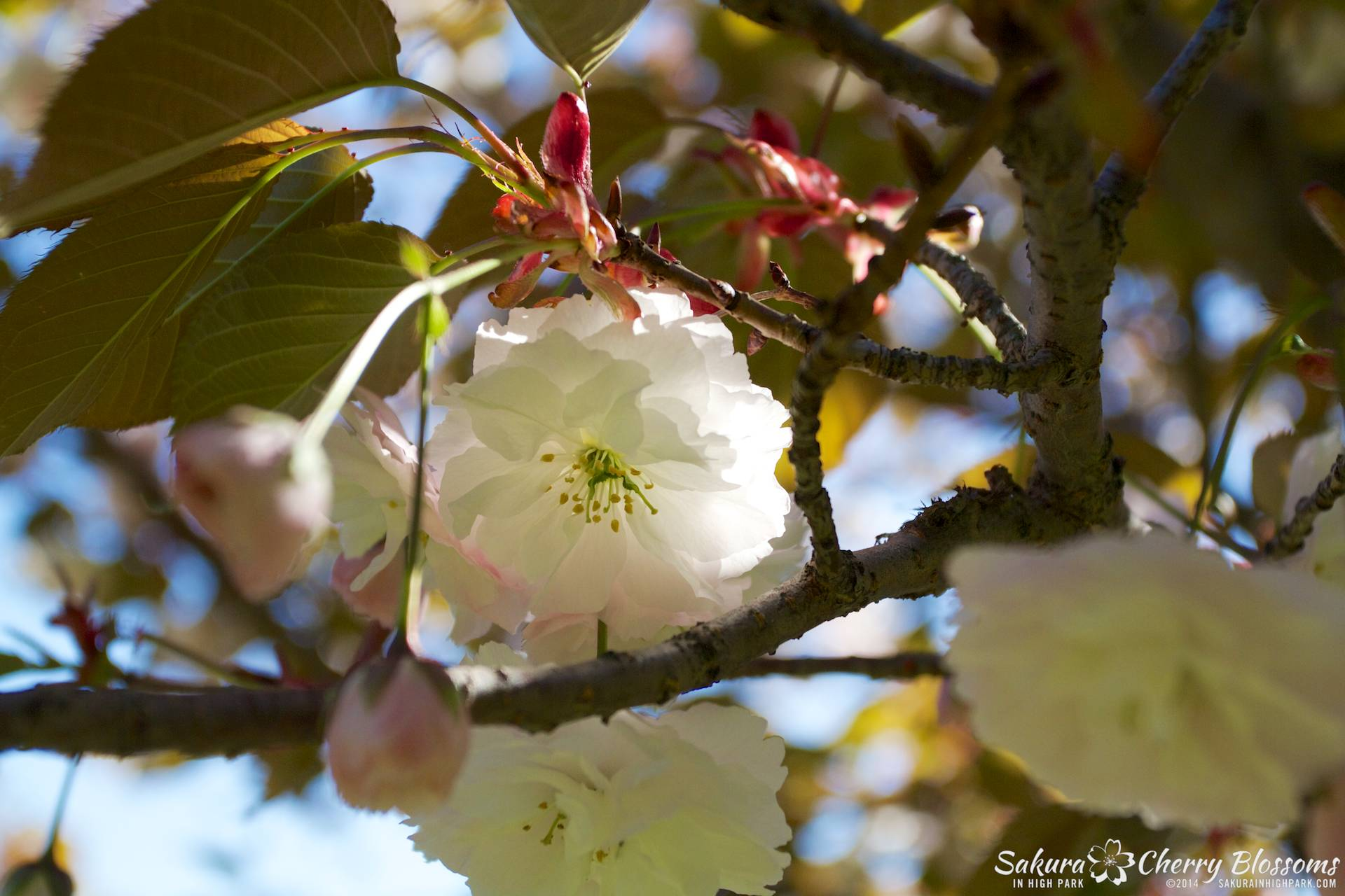 Sakura // Cherry Blossoms in High Park - akebono/fegunzo trees are in peak bloom. May 24, 2014 - www.SakurainHighPark.com
